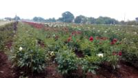 Oltre-il-Giardino-fioritura-peonie-2